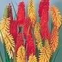 Kniphofia Flamenco Seeds