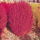 Kochia trichophylla Seeds