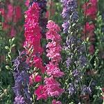 Larkspur Seeds - 'Stock' Flowered Mix