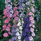 Larkspur Little Rocket Mix Seeds