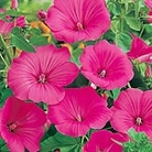 Lavatera trimestris Seeds - Loveliness