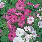Lavatera trimestris Beauty Mix Seeds