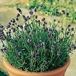 Lavender - Lavender Lady Seeds