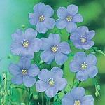 Linum Blue Dress Seeds