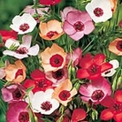 Linum Charmer Mix Seeds