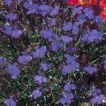 Lobelia Monsoon Seeds