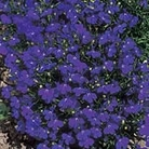 Lobelia Crystal Palace Seeds
