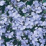 Lobelia Light Blue Basket Seeds