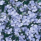 Lobelia Light Blue Basket Seeds