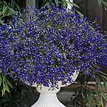 Lobelia Sapphire (Blue Basket) Seeds