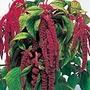 Love-Lies-Bleeding Crimson Tassels Seeds