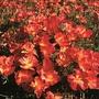 Californian Poppy Strawberry Fields Seeds