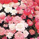 Candytuft Dwarf Fairyland Mixed Seeds