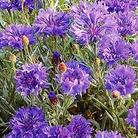 Flower Seeds - Cornflower Dwarf Blue Midget