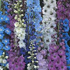 Flower Seeds - Delphinium Pacific Giants Mixed