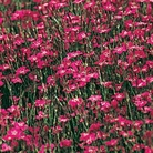 Flower Seeds - Dianthus Maiden Pink Brilliancy