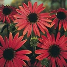 Flower Seeds - Echinacea Red Cone Flower