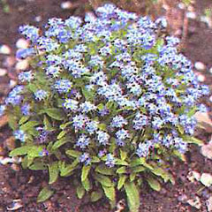 Flower Seeds - Forget Me Not Blue Ball