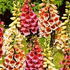 Flower Seeds - Foxglove (Digitalis) Foxy