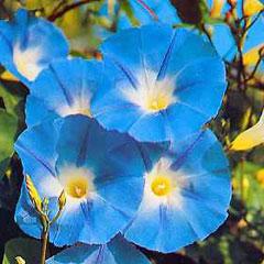 Flower Seeds - Morning Glory Heavenly Blue