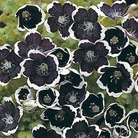 Flower Seeds - Nemophila Pennie Black