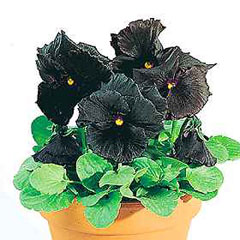 Pansy Black Moon F1 Hybrid Seeds