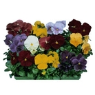 Flower Seeds - Pansy Clear Crystal Mixed