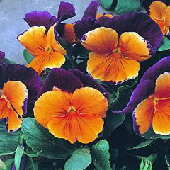 Flower Seeds - Pansy Jolly Joker F2 Hybrid