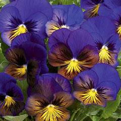 Flower Seeds - Pansy Karma Blue Butterfly F1 Hybrid