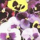 Flower Seeds - Pansy Thompson & Morgan Colossal Flowered Mixed
