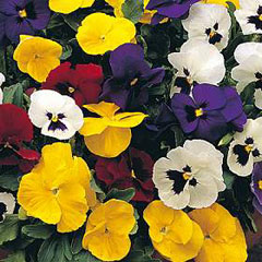 Flower Seeds-Pansy Universal Mixed F1 Hybrid