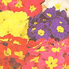 Flower Seeds - Primula Polyanthus Pacific Giants Mixed