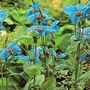 Flower Seeds - Poppy Blue (Meconopsis)
