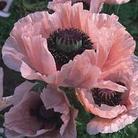Flower Seeds - Poppy Oriental Coral Pink