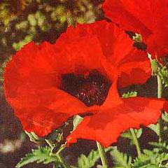 Poppy Oriental Brilliant Seeds