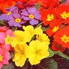 Flower Seeds - Primrose Giant Flowered Mixed