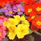 Flower Seeds - Primrose Giant Flowered Mixed