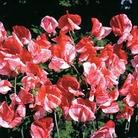 Flower Seeds - Sweet Pea (Lathyrus ) America