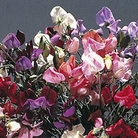 Flower Seeds - Sweet Pea (Lathyrus) Antique Fantasy Mixed