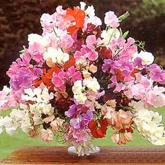 Flower Seeds - Sweet Pea (Lathyrus ) Floral Tribute Mixed