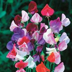 Flower Seeds - Sweet Pea (Lathyrus ) Heirloom Mix