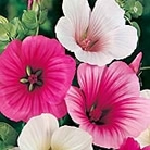 Malope Strawberries and Cream Mix Seeds