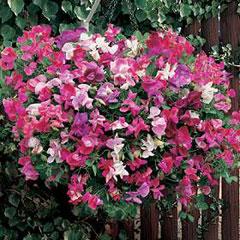 Flower Seeds - Sweet Pea (Lathyrus ) Sugar n Spice