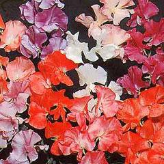 Sweet Pea (Lathyrus ) Thompson & Morgan Prize Strain Mixed Seeds