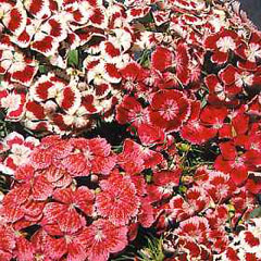 Flower Seeds - Sweet William Excelsior Mixed