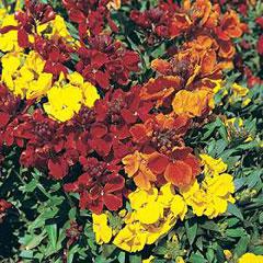 Flower Seeds - Wallflower Dwarf Brilliant Bedder Seeds