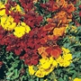 Flower Seeds - Wallflower Dwarf Brilliant Bedder Seeds