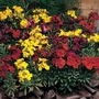 Flower Seeds - Wallflower Tom Thumb