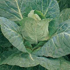 Cabbage Durham Early Seeds