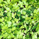 Herb Seeds - Cress  Extra Curled